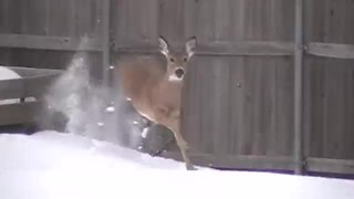 Frightened Deer Scales 6 Foot Fence To Escape Backyard - Video