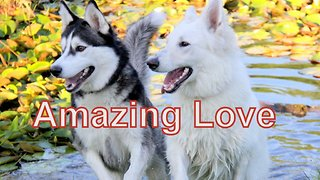 When Cute Siberian Husky Max Met White German Shepherd Ava - Video