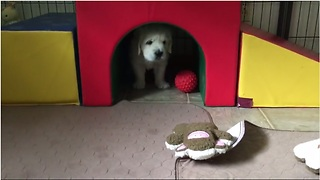 Funny Golden Retriever puppy thinks he's lost - Video