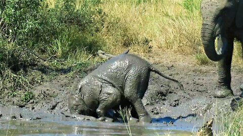 Clumsy baby elephant looks embarrassed after falling face first into the mud