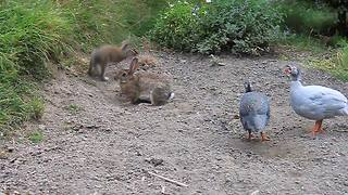 Rabbits play alongside friendly Guinea fowls - Video
