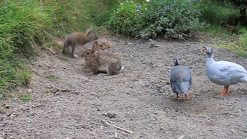 Rabbits play alongside friendly Guinea fowls