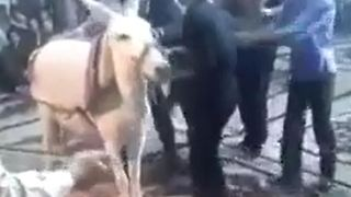 Dance with donkey in a wedding party