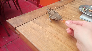 Friendly sparrow eats food from human's hand