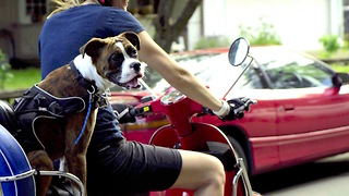 Boxer dog joyrides a Vespa  - Video