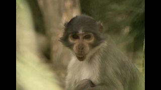 Mangabey Monkeys Make Rare Animal List - Video