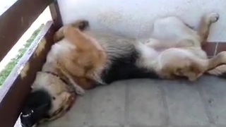 Snoring dog sleeps in hilariously awkward position - Video