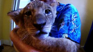 Precious lion cub finds foster home - Video