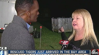 Rescued tigers just arrived in the Bay area - Video