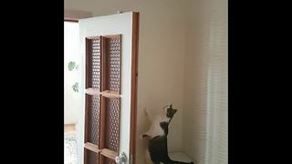 Cat gets mentally ready for challenging high jump