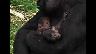 Twin Gorillas Born In Dutch Zoo - Video