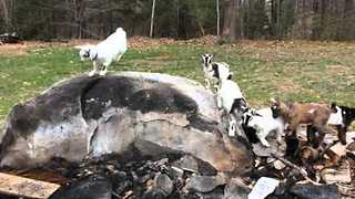 Cute Goats Play King of the Hill - Video