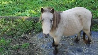 Vicious dogs 'eat' miniature horse, owner says - Video
