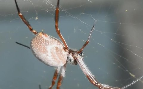 Spiders tune their webs for good vibrations
