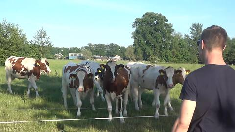 "Cattle herd flocks to man's ""cow call"""