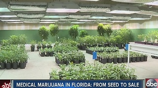 Medical marijuana in Florida: from seed to sale - Video