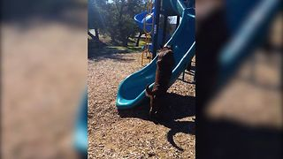 Chocolate Lab vs A Slippery Slide - Video