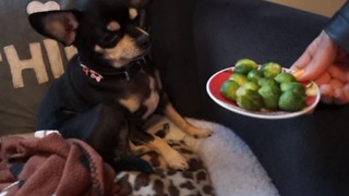 Do dogs like to eat vegetables? This cute chihuahua give the answer. - Video