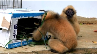 Baby Gibbons Enjoy Playing at Rescue Center - Video