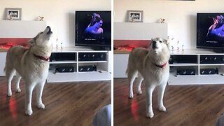 Paw-varotti: Tuneful Husky Loves Singing Along To Opera Songs