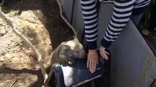 Jack the Wombat Learns a New Trick - Video