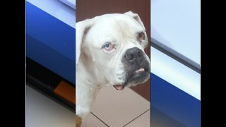 Dog recovering in Boca Raton after being shot, struck by car