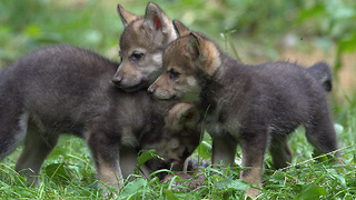 Wildlife Park Celebrates First Wolf Cubs Birth In 47 Years: ZooBorns - Video
