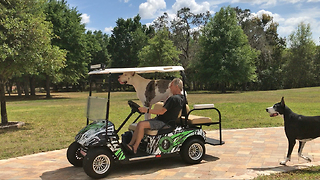 Happy Great Danes Enjoy a Golf Cart Ride  - Video