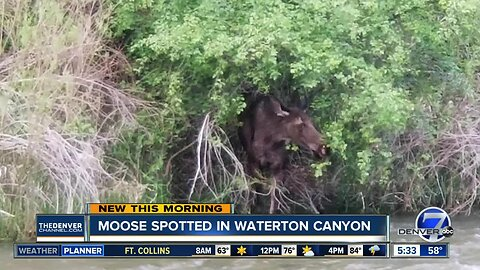 Moose spotted in Waterton Canyon
