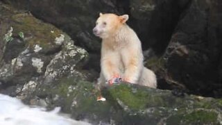 Rare bear spotted in Canada
