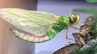 The beautiful metamorphosis of a dragonfly in time-lapse video  - Video