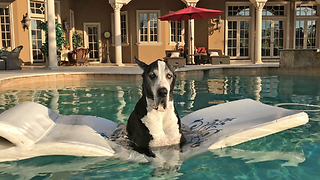 Peaceful Great Dane Enjoys Her Happy Time in the Pool - Video