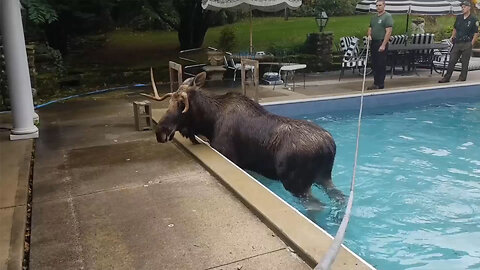 Rescuers Help Moose Trapped In Swimming Pool