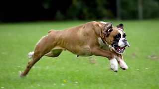 12 Fun and Furry Facts on the Boxer | Rare Animals - Video