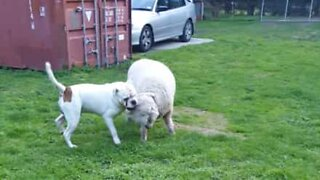 This sheep thinks it's a dog!