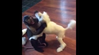Capuchin Monkey plays with puppy friend - Video