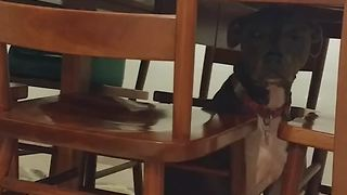 Funny Dog Stuck Under a Table