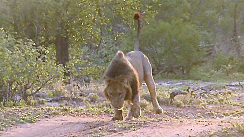 King Of The Jungle Winces Like A Kitten When Stepping On A Thorn