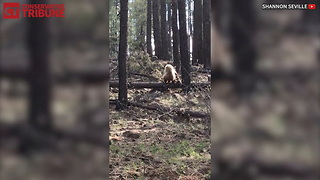 Grizzly Bear Meets Mama Elk - Video