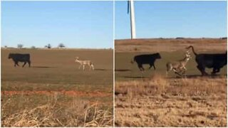 A scatter-brained deer thinks it's a cow