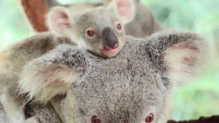 Adorable baby koalas leave their mum's pouch for the first time - Video