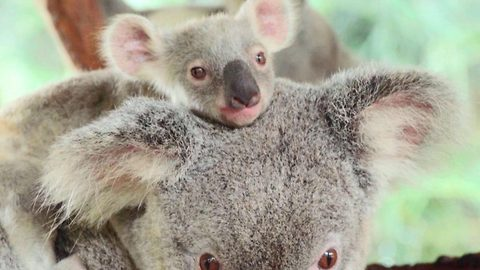 Adorable baby koalas leave their mum's pouch for the first time