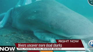 Divers uncover more dead sharks - Video