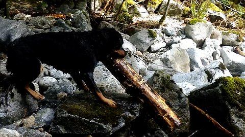 Dog rescues giant log from being swept over waterfall