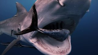 Terrifying close encounter with massive Tiger sharks off Florida coast - Video
