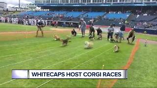 Tigers affiliate hosts Corgi Races at the ballpark - Video