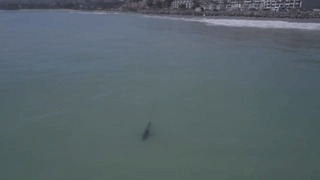 Great White Sharks Spotted Near Southern California Beaches - Video