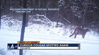 Cougar spotted again in Colgate - Video