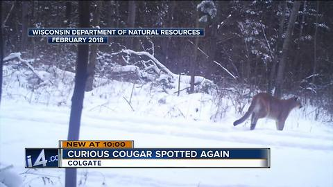 Cougar spotted again in Colgate