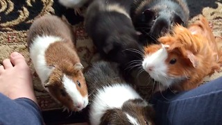 Do you know what a guinea pig feeding frenzy looks like? - Video